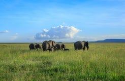 En flock av afrikanska elefanter i den Serengeti nationalparken Arkivbilder