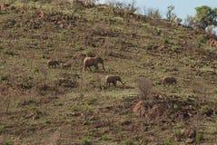 En flock av afrikanska elefanter i Pilanesberg Royaltyfria Foton