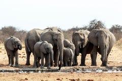 En flock av afrikanska elefanter som dricker på en lerig waterhole Royaltyfri Bild