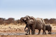 En flock av afrikanska elefanter som dricker på en lerig waterhole Arkivfoto