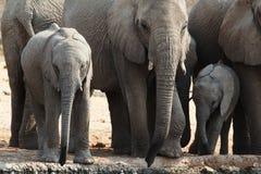 En flock av afrikanska elefanter som dricker på en lerig waterhole Arkivbild
