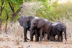En flock av afrikanska elefanter som dricker på en lerig waterhole Arkivbilder