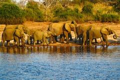 En flock av afrikanska elefanter som dricker på en waterhole som lyfter deras stammar, Chobe nationalpark, Botswana, Afrika Djurl Arkivfoton