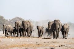 En flock av afrikanska elefanter som går i den Etosha nationalparken royaltyfri fotografi