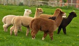 En flock av alpaca royaltyfri foto