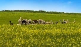 En flock av Alpacas i den Charnwood skogen arkivbilder