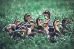 En flock av ankungar i gräset Industriell produktion av det ätliga ägget Fåglar i den öppna luften Arkivbilder
