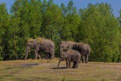 en flock av asiatiska elefanter med en ung kalv royaltyfri bild
