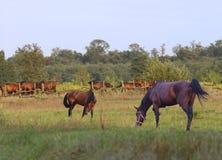 En flock av att beta för hästar Arkivfoton