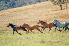 En flock av att springa omkring i vilt tillst?nd h?star arkivfoto