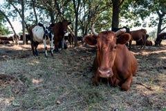 En flock av att vila för kor arkivbild