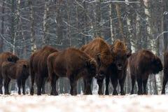 En flock av aurochsanseendet på vinterfältet flera stor brun bison på skogbakgrunden Några tjurar med stora horn på th Fotografering för Bildbyråer