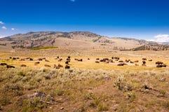 En flock av bisonen i den Yellowstone nationalparken arkivbilder