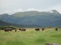 En flock av bisonen som betar i ett gräs- fält royaltyfri bild