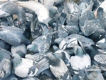 En flock av blåa duvor, vingar fördelade vitt royaltyfria foton