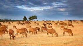 En flock av bruna kor arkivfoton