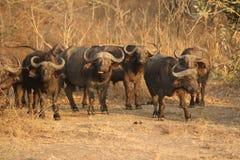 En flock av Buffalows i den södra Luangwa nationalparken royaltyfri foto