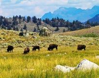 En flock av buffeln royaltyfri foto
