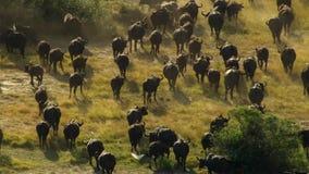 En flock av buffeln som betar på ett bevattna hål, Okavango deltaOkavango grässlätt, Botswana, Söder-västra Afrika royaltyfria foton