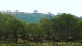 En flock av buffelspring lager videofilmer