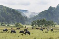 En flock av bufflar royaltyfri fotografi
