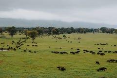 En flock av bufflar på fristaden för Taita kulledjurliv, Kenya arkivfoto