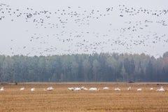 En flock av Cygnuscygnusen - Whoopersvan på ett fält på skogbakgrund och flock av långhalsgooses - Brantaleucopsis som över flyge royaltyfria foton