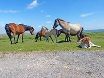 En flock av Dartmoor ponnyer arkivfoto