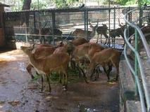 En flock av deers arkivfoton