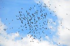 En flock av den australiska ibits i blåa himlar Arkivbilder