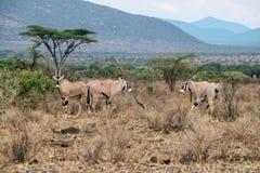 En flock av den Beisa oryxantilopet på Samburu den nationella reserven, Kenya royaltyfria bilder