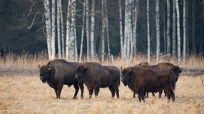 En flock av den europeiska aurochsen som betar på The Field Stor brunt fyra arkivfoto