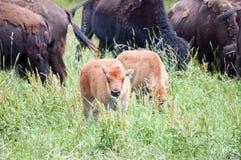En flock av den lösa bisonen som betar i fältet Royaltyfria Foton