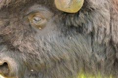 En flock av den lösa bisonen som betar i fältet Royaltyfri Bild