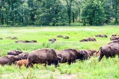En flock av den lösa bisonen som betar i fältet Royaltyfri Foto
