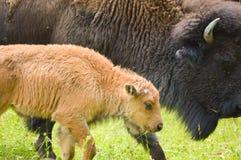 En flock av den lösa bisonen som betar i fältet Royaltyfria Bilder