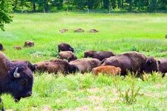 En flock av den lösa bisonen som betar i fältet Fotografering för Bildbyråer