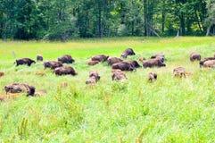 En flock av den lösa bisonen som betar i fältet Arkivbild