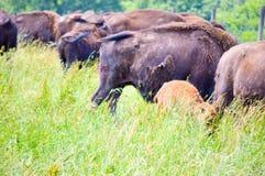 En flock av den lösa bisonen som betar i fältet Royaltyfri Fotografi