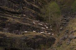 En flock av den vita geten på ett brant på en klippa arkivfoton