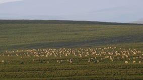 En flock av djur som söker nytt gräs, savann, Afrika royaltyfri illustrationer