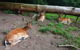En flock av dovhjortar arkivfoton