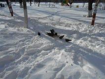 En flock av duvor äter snön Arkivfoton