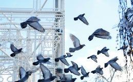 en flock av duvor i flykten, i fyrkanten, mjuk selektiv fokus royaltyfri fotografi
