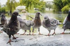 En flock av duvor i parkerar i regnet arkivbilder
