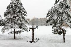 En flock av duvor i vintern Royaltyfria Foton