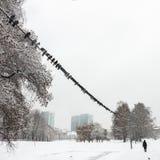 En flock av duvor i vintern Royaltyfri Foto