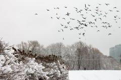 En flock av duvor i vintern Arkivbilder