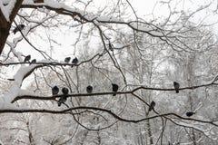 En flock av duvor i vintern Royaltyfri Bild