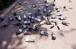 En flock av duvor på asfalten som äter brödsmulor royaltyfria bilder